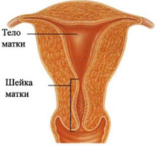 тело и шейка матки