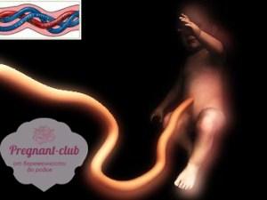 Как выглядят артерии и вена в пуповине