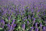 Цветы шалфея